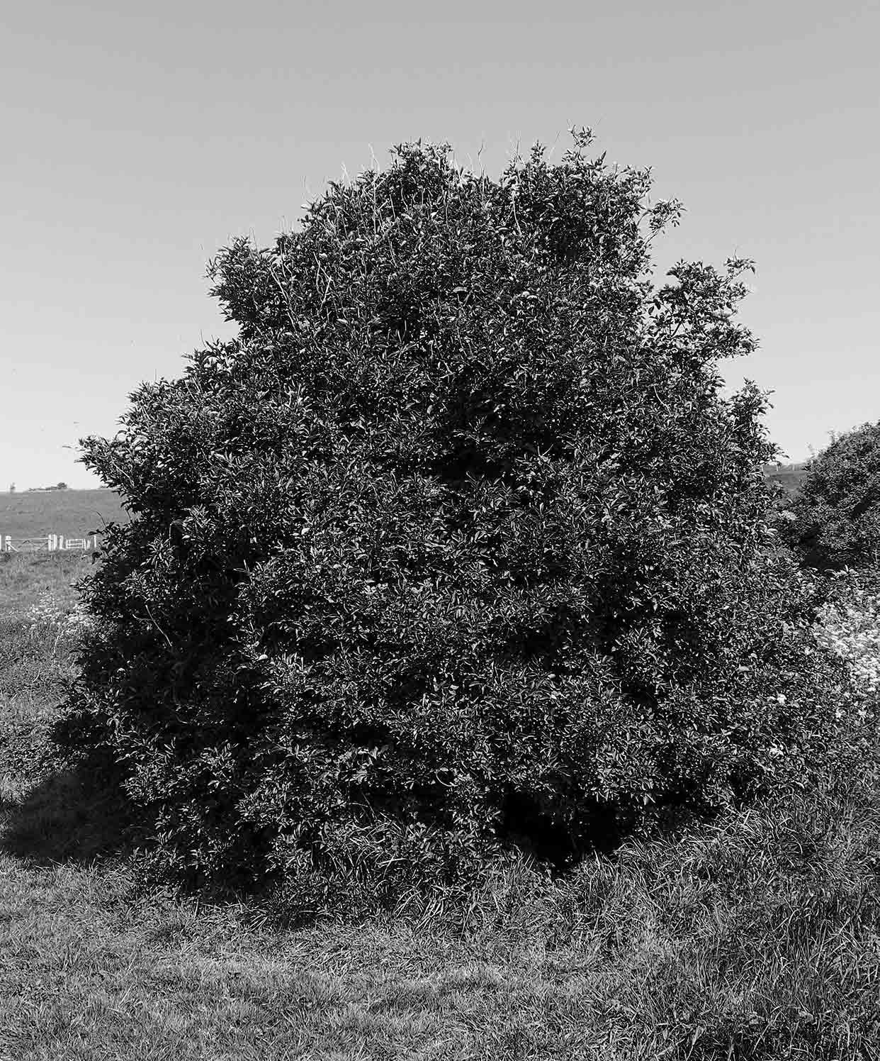 photo  of a large bush