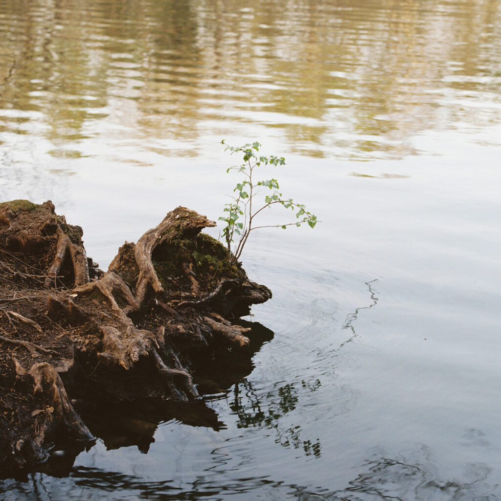 Roots on a riverbank